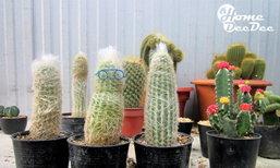 หลงใหลเป็นปลื้ม...กระบองเพชร (Cactus)