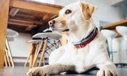 """6 ข้อรู้ไว้ซะ ก่อนคิดจะเลี้ยงสุนัขใน """"บ้าน"""""""