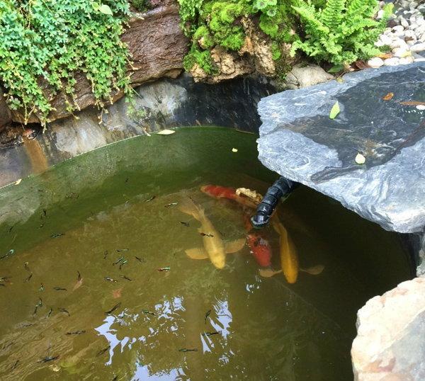 ปลาคราฟในสวนบ่อปลาหน้าบ้าน