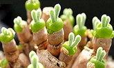 ต้นหูกระต่ายสุดน่ารัก ทางเลือกในการตกแต่งบ้าน