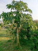 ต้นมะละกอ