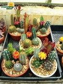 """""""กระบองเพชร"""" (Cactus)"""