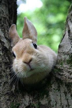 กระต่ายป่า