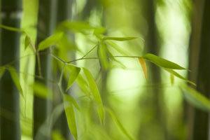 ต้นไผ่สีสุกเสริมความมั่งคั่ง ร่ำรวย