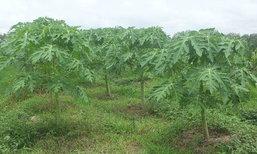 มะละกอแขกดำศรีสะเกษ…พืชเศรษฐกิจทำเงิน สู่วิถีมั่นคง