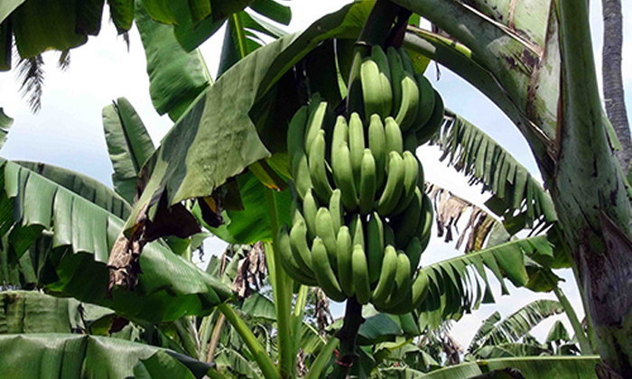 เกษตรกรสงขลาหันปลูกกล้วยหอมทองปลอดสารพิษ