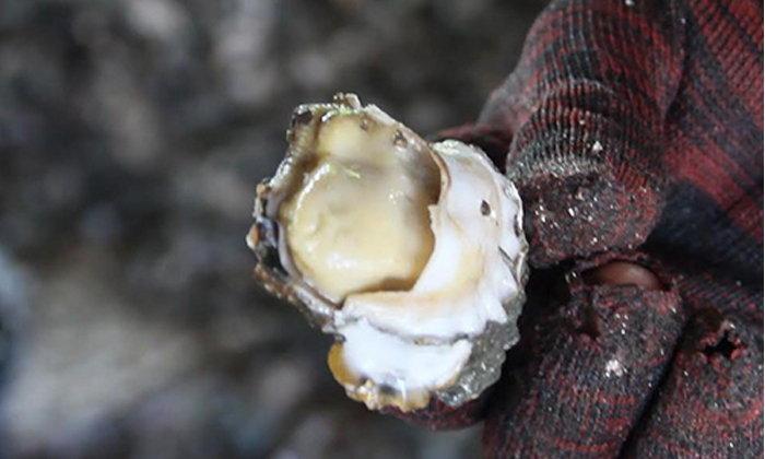 เลี้ยงหอยนางรมแบบธรรมชาติ โกยรายได้วันละ 7,500