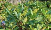 เกษตรพังงาปลูกไม้ยืนต้นเก็บใบขายรายได้งาม