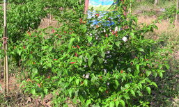 พลิกวิกฤตเจ๋ง เกษตรกรลดพื้นที่ยางฯ หันมาปลูกพริกขี้หนู-แตงกวา โกยเดือนละ 3-4 หมื่นบ.