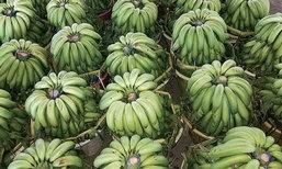 กล้วยหอมทองออร์เดอร์ทะลักรับตรุษจีน ราคาพุ่งหวีละ100คนแห่ปลูกหวั่นปีหน้าราคาร่วงซ้ำรอยข้าว-ยาง