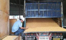 BKPยันยังเปิดรับซื้อผลผลิตข้าวโพดเลี้ยงสัตว์