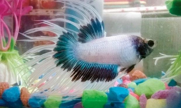 ผู้เลี้ยงปลาสวยงามราชบุรีตื่นตัว ลุยส่งออกตัดตอนพ่อค้ากดราคา