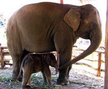 พังมิลค์ปางช้างกินรีตกลูกช้างเพศผู้ชื่อ ปีใหม่