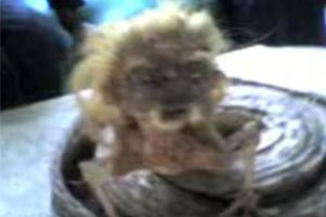 แกะรอยคลิปสัตว์ประหลาดงูหัวคนยันพบที่อินโด